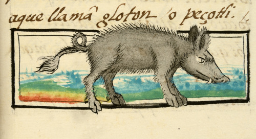 Coiametl (peccary). From Bernardino de Sahagun, Florentine Codex (ca. 1577-77), bk. II, fol. 165r (detail). Florence, Biblioteca Medicea Laurenziana. (© 2017 The J. Paul Getty Trust. All rights reserved.)
